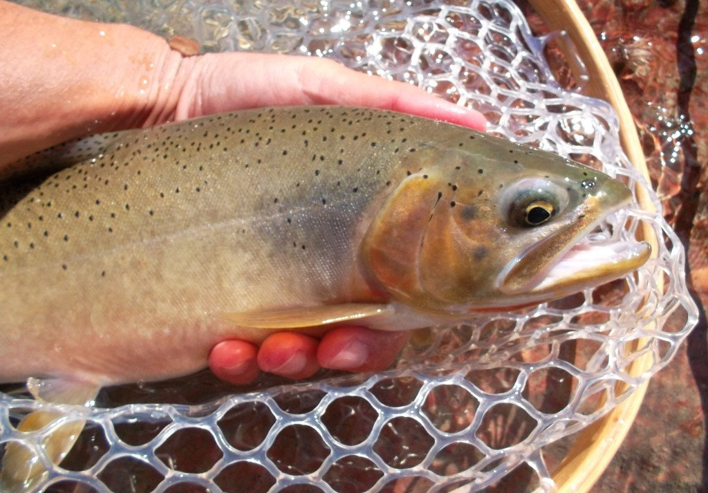 Cutthroat trout, catch and release